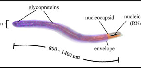 Figure 2. Ebola virion. Each virion is filamentous, or long and thread-like with a length that ranges from 0.8 µm to 1.4 µm. (Adapted from Ascenzi et al., 2008).